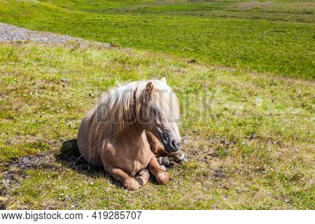 Portraits of fair-haired horse. Golden summer sunset in the Icelandic summer tundra. Icelandic horses are popular in Europe and North America. Ecological, active and photo tourism concept