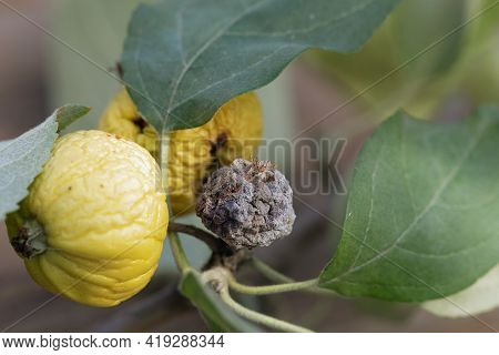 Close-up Of Yellow Apple Fruits Affected By Bacterial Pathology With Small Shriveled Two Yellow And