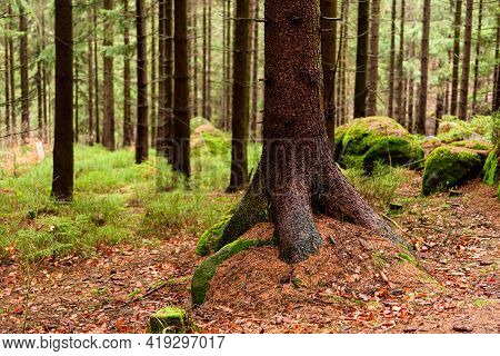 Deep Forest And View On Pine And Conifer Trees Roots, Wilderness Natural Landscape, Horizontal Photo