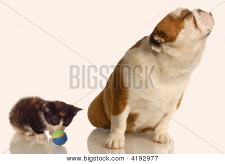 Bulldog With Nose Up In The Air At Kitten