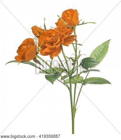 beautiful orange color rose isolated on white background
