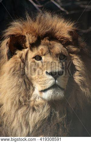 Biodiversity Concept - Adult Lion Close Up Portrait