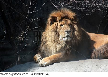 Biodiversity Concept - Portrait Of Lying Adult Lion