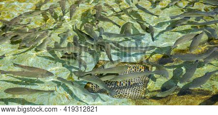 Shoal Of Brown Trout, Salmo Trutta, In Fish Farm. Photo Taken In The Province Of Cuenca, Spain