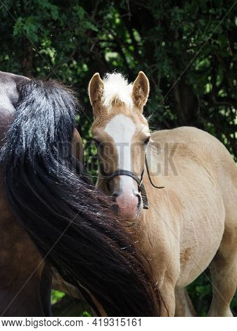 A Cute Welsh Pony Foal Peeps Out From Behind His Mothers Tail.