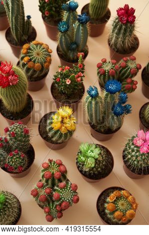 Colorful Cactus With Flowers In A Brown Pot. Flowering Cactus