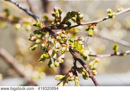 Branch Of Cherry With Buds Ready To Bloom At Spring.