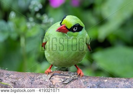 Nature Wildlife Image Of Green Birds Of Borneo Known As Bornean Green Magpie