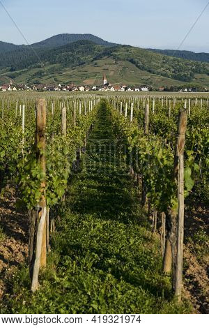 Vineyards And Villages Along The Wine Route Alsace. Haut-rhin, France