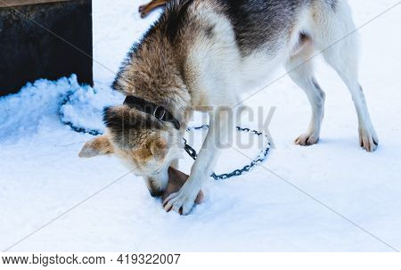 Alaskan Husky Sled Dog Chewing On A Piece Of Frozen Fish.