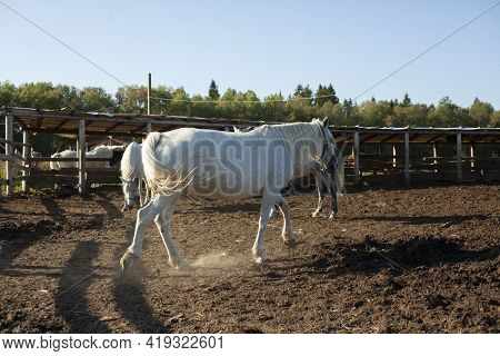 White Horse On The Farm. Horse Breeding Outside The City. A Horse For A Walk. The Animal Is Running.