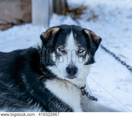 Close Up Of An Alaskan Husky Sled Dog With Bright Blue Eyes.