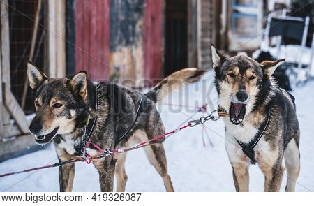 Happy And Eager Alaskan Husky Sled Dogs Ready For Action On A Cold Winters Day.
