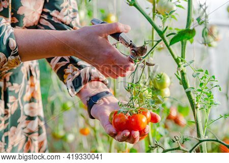 Close Up Of Farmer Hands Harvesting Red Tomato In Green House. Gardener Picking Ripe Tomatoes.