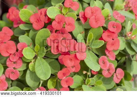 Red Euphorbia Milli Or Crown Of Thorns Flower Bloom In The Garden For Background.