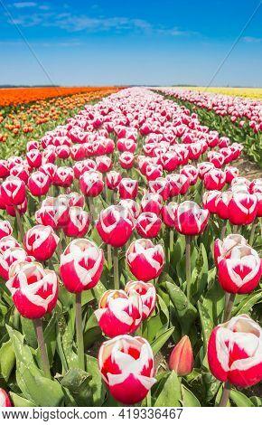Close Up Of Red And White Tulips In Noordoostpolder, Netherlands