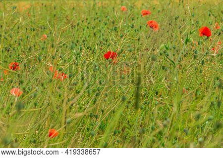 Meadow With Wildflowers. Field With Grain Barley, Wheat, Rapeseed With Fruit Stem. Green Plants With