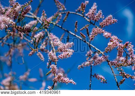Tamarisk, Evergreen Deciduous Plant, Pink Flowers, Blooming, Grow On Saline Soils. Sunny Day, Blue S