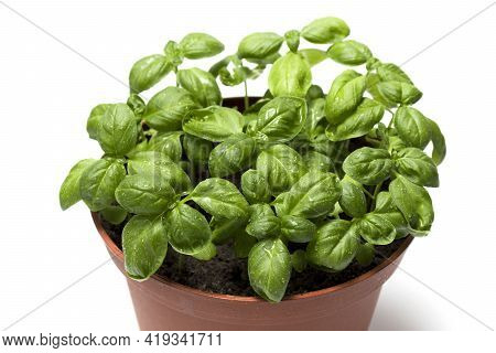 Organic Fresh Green Basil Is Grown In A Pot. Pot With Fresh Green Basil On White Background. The Con
