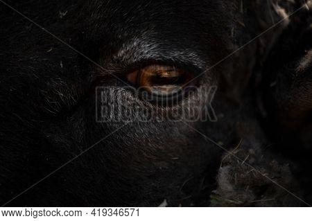 Sheep's Eye Close-up, Dark Wool Of A Sheep