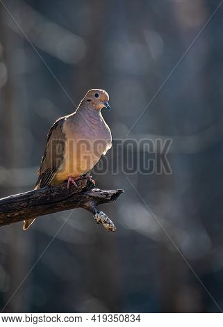 A Mourning Dove Perching On The End Of An Apple Tree Limb Is Outlined By The Late Afternoon Sun.