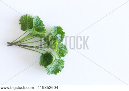 Lemon Balm Herb Leafs Isolated On White Background. The Leaves Have A Mild Lemon Scent. The Tea Balm