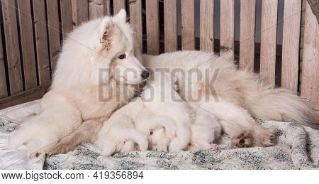 Samoyed Dog Mother With Puppies. Puppies Suckling Mother