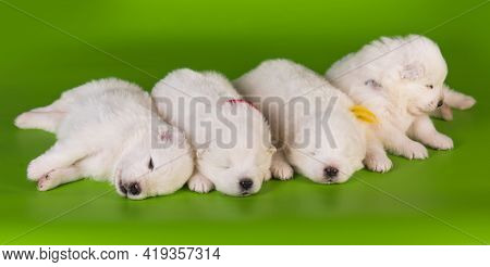 Four Small One Month Old Cute White Samoyed Puppies Dogs