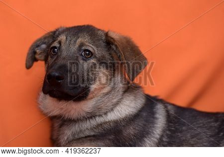 Brown Cute Puppy Pooch On A Red Background