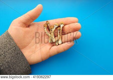 Psilocybe Cubensis Mushrooms In Man's Hand On Blue Background. Psilocybin Psychedelic Magic Mushroom
