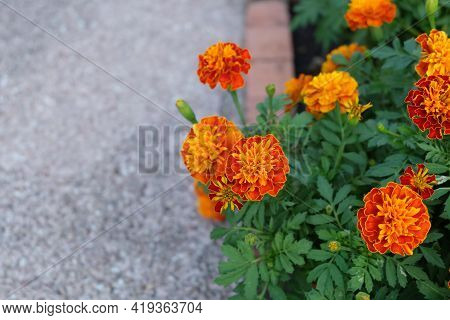 Herbal Flower And Plant, Group Of Orange Calendula Or Marigold Flowers In A Garden. Used For Herbal