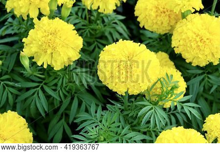 Herbal Flower And Plant, Group Of Calendula Or Marigold Flowers In A Garden. Used For Herbal And Cos