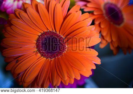 Gerber Very  Beautiful Color Flower Close Up