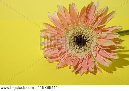 Gerber Flower Colorful Nice Blossom Close Up