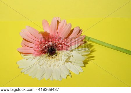 Very Nice Gerber Flower Close Up Yellow Background
