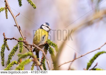 A Portrait Of A Eurasian Blue Tit Perched On A Small Twig Of A Tree Or Bush. The Cyanistes Caeruleus