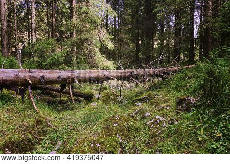 Mountain Trail Blocked By A Fallen Spruce; Footpath In The Apuseni Natural Park Wilderness