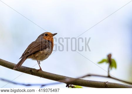 A Close Up Portrait Of A European Robin Or Red Breast Bird Sitting On A Branch Of A Tree In A Forest