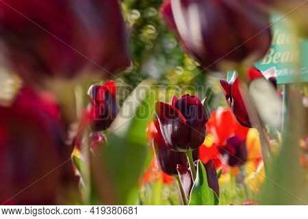 Yalta April 28, 2021 Nikitsky Botanical Garden Tulip Parade. Variety Of Chocolate Tulips Close - Up