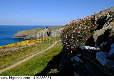 Close Up Of Sea Thrift On Dry Stone Wall With The Cornish Coast Out Of Focus In The Background. The