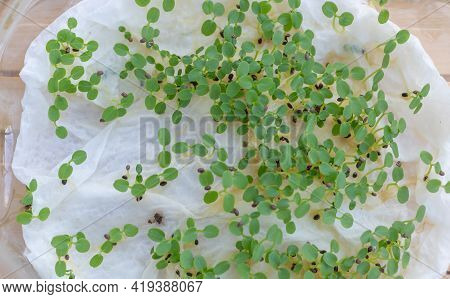 Lots Of Kiwi Seedlings Just Germinated On The Napkin. Concept In Cultivating Kiwi From Seed