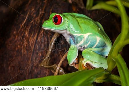 Chubby Red-eyed Tree Frog Sitting On A Green Plant