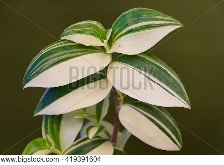 Beautiful White And Green Leaves Of Variegated Wandering Jew Plant