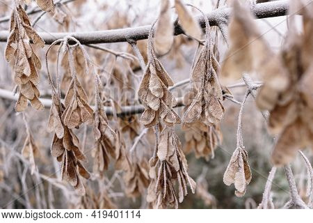 Maple Seeds On A Branch In Hoarfrost