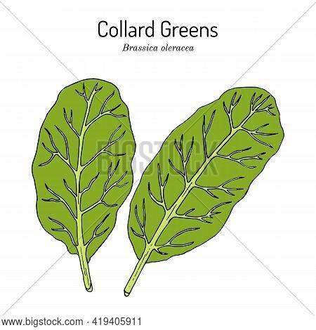 Collard Greens Brassica Oleracea , South Carolina State Vegetable. Hand Drawn Botanical Vector Illus