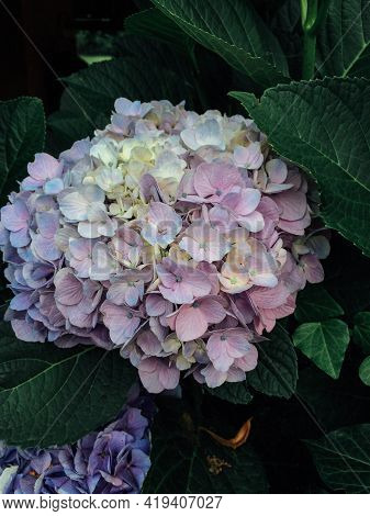 Beautiful Fresh Hydrangea Flower In Full Bloom In The Garden, Close Up. Blooming Summer Flowering Pl