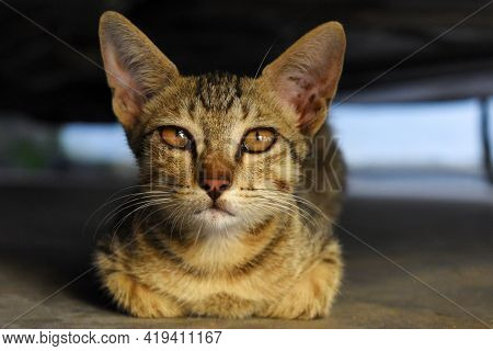 House Cat Or Kitten Looking Directly At Camera. Close-up