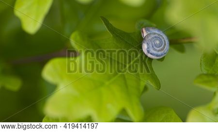 Snail Shell In Green Leaves. Shell Of A Beautiful Snail Isolated On Green Oak Leaves. Natural Summer
