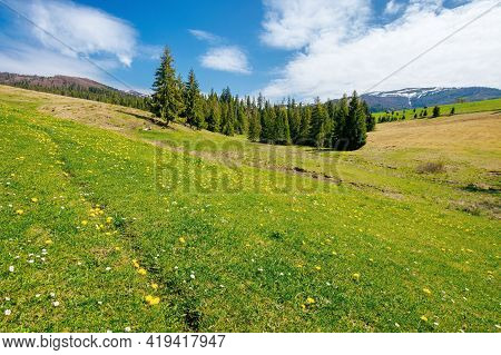 Spruce Trees On The Grassy Pasture. Snow Capped Ridge In The Distance. Beautiful Countryside Rural L