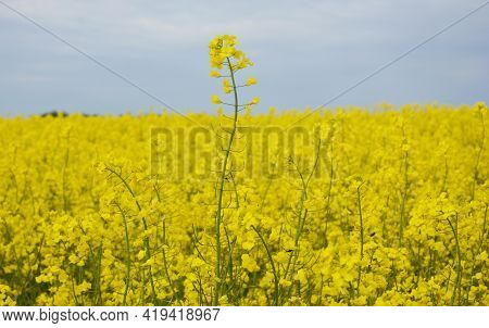 A Beautiful Yellow Rapeseed Flowering Field With A Close Up Of A Rapeseed Blossoms. Rapeseed Growing